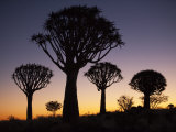 Quiver Trees, Quiver Tree Forest Silhouette, Keetmanshoop, Namibia, Africa Photographic Print by Ann & Steve Toon