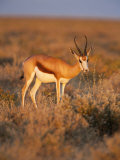 Springbok, Female Feeding, Etosha National Park, Namibia, Africa Photographic Print by Ann & Steve Toon