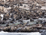South African Fur Seals, Seal Island, False Bay Photographic Print by Ann & Steve Toon