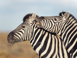 Burchell's Zebras with Foal, Etosha National Park, Namibia, Africa Photographic Print by Ann & Steve Toon