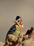 Male Red-And-Yellow Barbet, Samburu National Reserve Photographic Print by James Hager