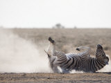 Burchell's Zebra, Dust Bathing, Etosha National Park, Namibia, Africa Photographic Print by Ann & Steve Toon