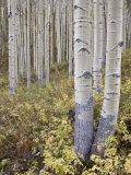 Aspen Grove in Early Fall, White River National Forest, Colorado Photographic Print by James Hager