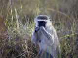 Vervet Monkey, Zimbabwe, Africa Photographic Print by Andrew Mcconnell
