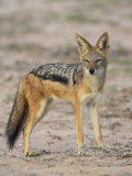 Black-Backed Jackal, Kgalagadi Transfrontier Park Photographic Print by James Hager