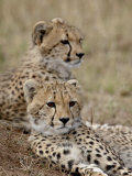 Two Cheetah Cubs, Masai Mara National Reserve, Kenya, East Africa, Africa Photographic Print by James Hager