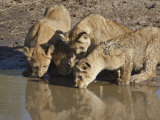 Four Lion Cubs Drinking, Masai Mara National Reserve, Kenya, East Africa, Africa Photographic Print by James Hager