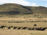 Herd of Elephants Move across an Open Plain in the Masai Mara National Reserve Photographic Print by Andrew Mcconnell