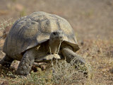 Leopard Tortoise, Karoo National Park, South Africa, Africa Photographic Print by James Hager