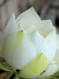 Lotus Flower, Hanoi, Vietnam, Indochina, Southeast Asia, Asia Photographic Print by  Godong