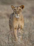Lioness, Samburu National Reserve, Kenya, East Africa, Africa Photographic Print by James Hager