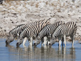 Burchell's Zebra, at Waterhole, Etosha National Park, Namibia, Africa Photographic Print by Ann & Steve Toon