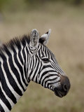 Grants Zebra, Masai Mara National Reserve Photographic Print by James Hager