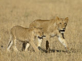 Lion Cubs, Masai Mara National Reserve, Kenya, East Africa, Africa Photographic Print by James Hager