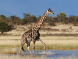 Giraffe, Wading Through Seasonal Water on Pan Photographic Print by Ann & Steve Toon