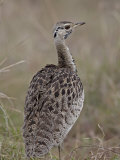 Male Black-Bellied Bustard Photographic Print by James Hager
