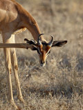 Male Gerenuk Scratching its Face, Masai Mara National Reserve Photographic Print by James Hager