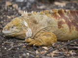 Land Iguana, Isabela Island, Galapagos, Ecuador, South America Photographic Print by Rolf Richardson