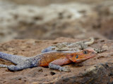 Male and Female Red-Headed Agama, Masai Mara National Reserve Photographic Print by James Hager
