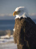 Bald Eagle, Homer, Alaska, United States of America, North America Photographic Print by Richard Maschmeyer