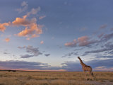 Giraffe, at Dusk, Etosha National Park, Namibia, Africa Photographic Print by Ann & Steve Toon