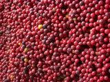 Ripe Coffee Beans, Recuca Coffee Plantation, Near Armenia, Colombia, South America Photographic Print by Ethel Davies