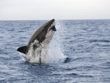 Great White Shark, Breaching to Decoy, Seal Island, False Bay, Cape Town Fotografie-Druck von Ann & Steve Toon