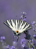 Scarce Swallowtail Butterfly Feeding on Lavender, Provence Photographie par Guy Edwardes