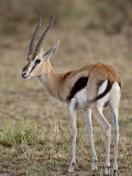 Male Thomsons Gazelle, Masai Mara National Reserve Photographic Print by James Hager