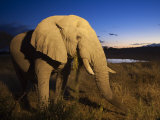 African Elephant, at Dusk, Okaukuejo Waterhole, Etosha National Park, Namibia Photographic Print by Ann & Steve Toon