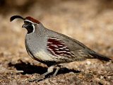 Male Gambel's Quail Scratching for Food, Henderson Bird Viewing Preserve Reproduction photographique par James Hager
