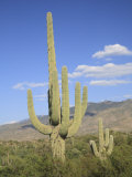 Saguaro Cacti, Saguaro National Park, Rincon Mountain District, Tucson, Arizona Photographic Print by Wendy Connett