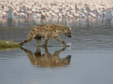 Spotted Hyena in Lake Nakuru, Lake Nakuru National Park Photographic Print by James Hager