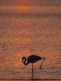 Greater Flamingo, at Dusk, Walvis Bay Lagoon, Namibia, Africa Photographic Print by Ann & Steve Toon