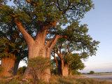Baines Baobabs, Nxai Pan, Botswana, Africa Photographic Print by Peter Groenendijk