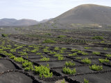 Vineyards of La Geria on Volcanic Ash of 1730S Eruptions, Lanzarote, Canary Islands Fotografie-Druck von Tony Waltham