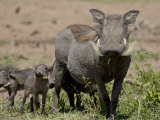 Mother and Baby Warthog, Masai Mara National Reserve Photographic Print by James Hager