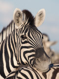 Burchell's Zebra, Resting, Etosha National Park, Namibia, Africa Photographic Print by Ann & Steve Toon
