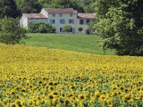 Cultivated Sunflowers Arable Crop, Near Valensole, Provence, France, Europe Photographie par Guy Edwardes