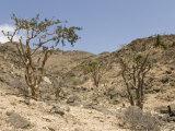 Frankincense Trees Growing Wild on the Limestone Hillsides, Dhofar Mountains, Salalah Photographic Print by Tony Waltham