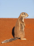 Ground Squirrel, Kgalagadi Transfrontier Park, Northern Cape Photographic Print by Ann & Steve Toon