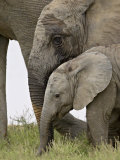 Baby and Young African Elephant, Addo Elephant National Park Photographic Print by James Hager