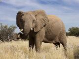 Desert Elephant, Kunene Region, Namibia, Africa Photographic Print by Ann & Steve Toon