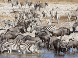 Burchell's Zebra (Equus Burchelli, at Waterhole, Etosha National Park, Namibia. Africa Photographic Print by Ann & Steve Toon