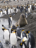 Fur Seal and King Penguins, St. Andrews Bay, South Georgia, South Atlantic Photographic Print by Robert Harding