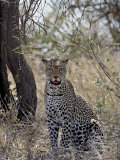 Leopard, Samburu National Reserve, Kenya, East Africa, Africa Photographic Print by James Hager