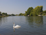 Swan on the River Thames at Walton-On-Thames, Near London, England, United Kingdom, Europe Photographic Print by Hazel Stuart
