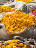 Marigolds Tied Up in Sacking Ready for Sale, Flower Market, Bari Chaupar, Jaipur, Rajasthan Photographic Print by Annie Owen