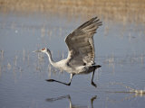 Sandhill Crane Taking Off, Bosque Del Apache National Wildlife Refuge Photographic Print by James Hager