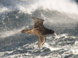 Giant Petrel, Near Falkland Islands, South Atlantic, South America Photographic Print by Robert Harding